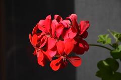 DSC_5523 (aktarian) Tags: roe flower flowers plant plants cvet bloom