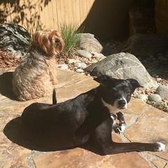 Baxter & Lucky (thegreatlandoni) Tags: usa sun dogs america backyard colorado denver patio lucky baxter sunbathing laying