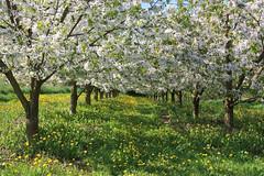 ckuchem-1231 (christine_kuchem) Tags: streuobstwiesenweg streuobstwiese streuobst wiese obstbaum frhling frhjahr blte bltezeit obstbume
