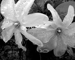 FYA Nov 2010 000001 (Hewlbane ) Tags: fyaforyourappreciation blackwhite whiteblack allrightsreserved lumixlx3 hewlbanesydneynswaustralia