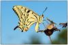 Papilio machaon (The Ramandolo Man) Tags: fujifilm s5pro macro macaone machaon papilio nikon nikkor nikkor105mmf28gvrmicro nature natura butterfly farfalla udine summer estate