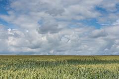 Endless (Ian C Sanderson) Tags: landscape land field farm wheat nikon d7200 nikonlandscapes sigma durham countydurham shildon brusselton woods northeast sky blue skyblue clouds cloud weather clear summer