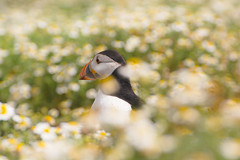 Summer on Skomer (HannahGE) Tags: puffin wales pembrokeshire birds wildlife daisy flowers bokeh summer july 2016 island skomer coast uk