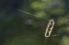 (amy20079) Tags: nature maine macro green newengland weed web bokeh