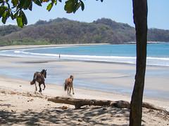 P3130404.jpg (francis_bellin) Tags: cocotiers plage galop chaleur soleil chevaux playanosara bain samara bleu