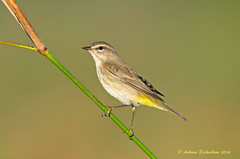Palm Warbler (Andrew's Wildlife) Tags: palm warbler