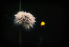 Spring is approaching (<be>) Tags: dandelion spring mist dew earlyspring earlymorning