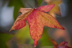 let the part tell the whole (keith midson) Tags: canon fd 55mm f12 vintage leaf autumn fall foliage
