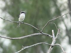 Loggerhead Shrike 20160815 (Kenneth Cole Schneider) Tags: florida miramar westbrowardwca