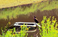 Animals. (ost_jean) Tags: animals natuur nature colors yellow water boat ostjean nikon d5200 tamron af 18200mm f3563 xr di ii ld aspherical if macro a14 belgica belgium belgië cormoran cormorant aalscholver vogel bird cormorán