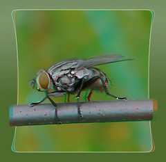 Flesh Fly on a Wire 2 - Anaglyph 3D (DarkOnus) Tags: sarcophagidae flesh fly wire pennsylvania buckscounty huawei mate8 cell phone 3d stereogram stereography stereo darkonus closeup macro insect anaglyph fdf hfdf flydayfriday day friday