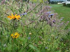 ckuchem-3085 (christine_kuchem) Tags: ackerrand bienenfreund bienenweide blumen blhstreifen feld felder klee landwirtschaft schmetterlingsbltler vogelschutz wiesenblume