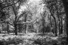 In the shadow of the elders (OR_U) Tags: 2016 oru uk langleywood langleywoodnationalnaturere forest green oak trees fern nature serene magic googlenik silverefex bw blackandwhite blackwhite schwarzweiss monochrome langleywoodnationalnaturereserve