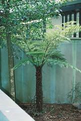 Tree fern (Matthew Paul Argall) Tags: treefern ferntree fern pentaxmz50 kodakultramax400 ultramax 400speedfilm 400isofilm autofocus