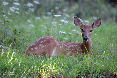 Beauty in the Meadow [Explored] (Windows to Nature) Tags: deer whitetaileddeer odocoileusvirginianus explored wild