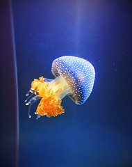 cerulean (maanasab) Tags: ocean blue sea white nature water yellow aquarium amazing jellyfish underwater spotted creature shedd