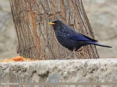Blue Whistling Thrush (Myophonus caeruleus) (gilgit2) Tags: pakistan birds animal fauna canon geotagged wings wildlife feathers sigma location species category avifauna gilgit myophonuscaeruleus bluewhistlingthrushmyophonuscaeruleus gilgitbaltistan sigma150500mmf563apodgoshsm imranshah jutial gilgit2