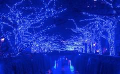 Nakameguro 青の洞窟 2014 Blue Grotto 2014 (ELCAN KE-7A) Tags: river tokyo pentax illumination 日本 東京 meguro nakameguro 2014 川 中目黒 目黒 イルミネーション ペンタックス japrn