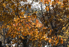 (leeannetrudel) Tags: orange fall automne leafs feuilles
