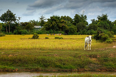 Rural idyll...or a hard life? (TanzPanorama) Tags: nature field rural landscape cow scenery asia cambodia southeastasia village rice paddy outdoor harvest siemreap sonynex5n tanzpanorama