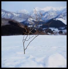 Snow @ Echigoyuzawa (smadalin2012) Tags: winter snow 6x6 film japan mediumformat bokeh 100mm apo hasselblad velvia scanned fujifilm rvp100f 1002 apochromat kinoptik echigoyuzawa movielens hasselblad203fe