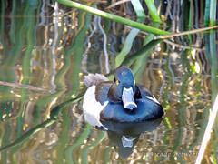GilbertRP-Jan2015-1-5 (birdistheword1980) Tags: bird nikon birding gilbert lightroom nikoncoolpix 2015 herping birdnerd riparianpreserve wintermigration gilbertwaterpark adecadebetween