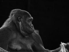 Gorila/ Gorilla (Jose Antonio. 62) Tags: blackandwhite bw espaa blancoynegro beautiful animals spain animales cantabria gorila cabrceno