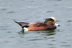 DSC_0086 (rachidH) Tags: sf sanfrancisco nature birds ducks waterfowl canard oiseaux americanwigeon anasamericana baldpate heronsheadpark canarddamrique rachidh
