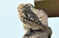 DSC_2049 Little Owl (jefflack Wildlife&Nature) Tags: nature birds wildlife owl raptors owls avian birdsofprey wildbirds littleowl