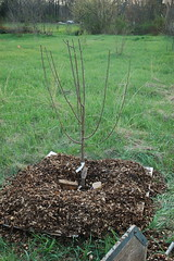 Green Gage Plum, Just Planted (pjchmiel) Tags: tree spring plum seedling planting greengage
