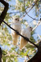 Day 118: Cockatoo (p.sebastien) Tags: park travel test australia nora cockatoo mechanic parrots australie perroquet aroundtheworld travelphotography cacatoes aroundtheworldtrip travelaroundtheworld aroundtheworldtravel