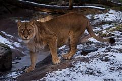 Arctic lions :-) (Gjesdal.org) Tags: norway zoo nikon kristiansand dyrepark d810 dyreparkenikristiansand vestagder sigma150500mmf563apodgoshsm topazdetail topazremask topazclarity
