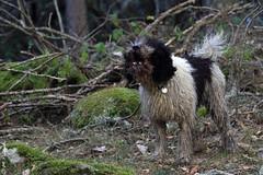 010557 - Rascafra (M.Peinado) Tags: copyright espaa dog dogs animal canon spain perro perros animales kdd rascafra comunidaddemadrid 2015 pdae perrodeaguas canoneos60d 03012015 enerode2015 kdd03012015 pdaesdelassierrasdeguadarramamadridyguadalajara