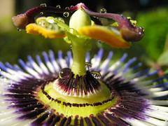 Passiflore (lausanne1000) Tags: plant flower nature fleur plante lausanne passiflora romandie