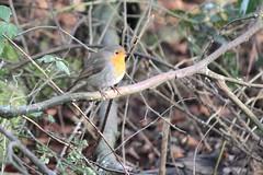 IMG_5025 (Rorals) Tags: bird nature wildlife robin birdsofbritain christmas britainsnationalbird songbird gardenbirdwatch  ptica  ptk fugl vogel lind lintu oiseau  madr an uccello putns pauktis gasfur ptak pssaro pasre vtk pjaro fgel  rspb