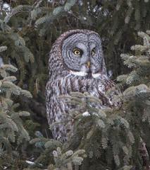 Great Gray Owl (Laura Erickson) Tags: minnesota greatgrayowl stlouiscounty strixnebulosa saxzimbog