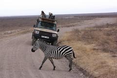 Zebra Cross in Front of Land Cruiser