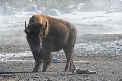 Nature's Sauna (dbushue) Tags: winter cold nature buffalo nikon wildlife yellowstonenationalpark wyoming bison thermal sauna ynp 2014 norrisgeyserbasin geyserbasin specanimal dailynaturetnc14 photoofthedaynwf14 dailynaturetnc15 photoofthedaynwf15