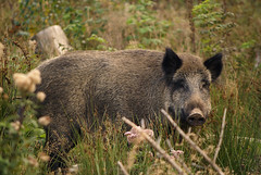 Wildschwein-Idylle (SurfacePics) Tags: wild nature animals germany deutschland pig tiere europa europe wildlife natur sau wilderness wald schwein wildschwein naturschutzgebiet wildboar melle niedersachsen tierfoto bache wiehengebirge tierwelt wildtier landkreisosnabrck