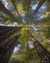 Redwoods Canopy (Backpackjoe) Tags: california bird lady berry nikon grove glenn johnson redwood redwoods redwoodnationalpark redwoodstatepark d600 d610 ladybirdjohnsongrove redwoodnationalandstatepark berryglenn redwoodnational nikond610 redwoodstate