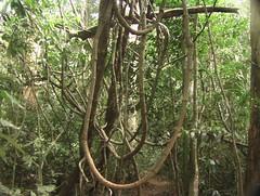 Vines of Thai Jungle