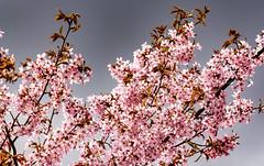 Hanami 2015 (Jori Samonen) Tags: tree finland cherry helsinki blossoms sakura hanami 2015 roihuvuori