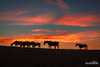 Pasture Bedtime (kevin-palmer) Tags: littlegoosecanyon bighornmountains bighornnationalforest july summer nikond750 tamron2470mmf28 color colorful clouds orange pink evening sunset dusk horses silhouette wyoming