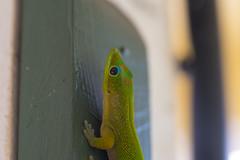 Resident Lizard (james.froumis) Tags: hawaii nikon maui lizard d750 lahaina 105mmf28micro moanalani