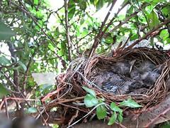 IMG_1186_Fotor01 (Ela's Zeichnungen und Fotografie) Tags: baby nest natur hannover tier vogel busch kcken