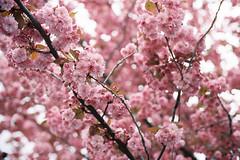 Spring. (Hello i'm Wild !) Tags: pink flowers light tree film nature analog 35mm spring dof bokeh cherryblossom breathe canonae1 kodakportra400