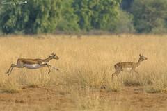 Blackbuck (Antilope cervicapra) (Tanmay's Gallery) Tags: animal wildlife tal chhapar sancturay nature antilope ngc