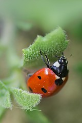 Ladybird (blackfranzel) Tags: nature ladybird marienkfer macro detail green red animals