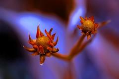 bloom start - Rudbeckia nitida 'HansHoltiana' (HansHolt) Tags: bloom start rudbeckia rudbeckianitidahansholtiana hansholtiana coneflower flower macro bokeh dof canon 6d canoneos6d canonef100mmf28macrousm