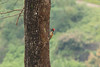 Red Whiskered Rumped Woodpecker (Hari K Patibanda) Tags: blackrumpedflamebackwoodpecker chinnar kerala kundladam munnar redwhiskeredwoodpecker thekkady topstation vagamon